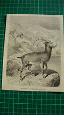 Syria ibex sinaitica Bovidae Nubian ibex - Antique print 1882