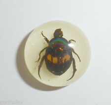 Insect Cabochon Fortune Beetle Specimen Round 19 mm on white 1 piece Lot