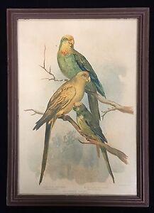 Original Coloured Lithograph by Gracuis Joseph Broinowski NZ Parrakeet's