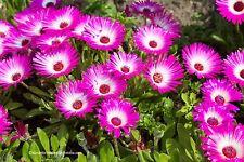 Eiskraut Mesembryanthemum crystallinum  Blume 60 Samen VERSAND FREI !!!