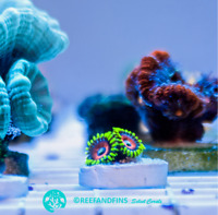 Live Eagle Eye Zoanthid LPS Coral Frag (Saltwater)