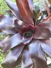1 Pup Bromeliad Aechmea Burgundy Exotic Tropical Landscape Plant Garden