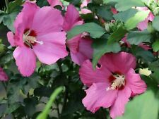 Korean Rose - Rose Mallow - Hibiscus syriacus - 50+ seeds