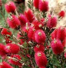 1 Callistemon Laevis Scarlet Bottle Brush Shrub Garden Ready Plant in 9cm Pot