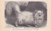Angorakatze Felis maniculata angorensis Holzstich von 1891 Katzen Katze