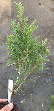 Live Plant-Bonsai Starter Pineperus Sea Green