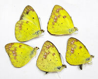 IXIAS FLAVIPENNIS TAKUMII unmounted butterfly