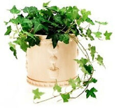 ENGLISH IVY CUTTINGS =10 READY FOR YOU TO ROOT Ground Cover Plants
