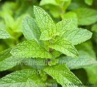🔥🌿 Echte englische Minze  Mentha  mehrjährig  Kräuter 100 frische Samen