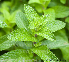 Verdadera inglesa menta Mentha multianual hierbas 100 semillas frescas