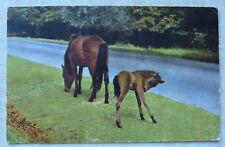 VINTAGE POSTCARD - NEW FOREST PONIES - SEPT 1959 - SALMON