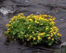 MARSH MERIGOLD Caltha Palustris Pond Bog Water Plant Waterplant 30 Seeds