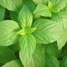 BASILICO LIMONE 200 SEMI aroma fresco Lemon Basil pianta erba aromatica
