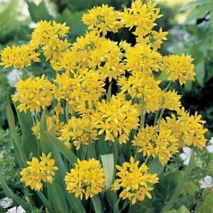 Pack of 30  YELLOW  (ALLIUM MOLY) rain lily bulbs uk free post