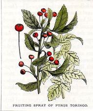 Stampa antica frutta  PERO  PYRUS TORINGO botanica 1903 Old antique print