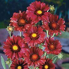 30+ BURGANDY SILK  GAILLARDIA FLOWER SEEDS /  PERENNIAL