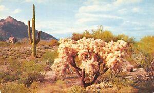 Desert Cholla Cactus and Giant Saguaro Vintage Postcard L10