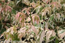 Acer negundo Flamingo/ Variegated Box Elder Tree grown peat free as 3L pot plant