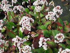 Bergenie Bergenia hybrida Silberlicht Frühlingsblüher