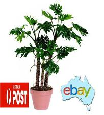 60 X PHILODENDRON SELLOUM SEEDS - BONSAI / TREE / PLANT