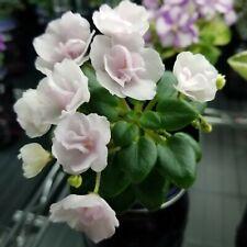 N-Liya Bebi Miniature African Violet Starter Plant