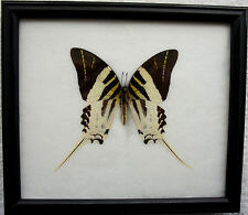 GIANT SWORDTAIL (GRAPHIUM ANDROCLES) - INSECT BUTTERFLY PICTURE FRAME TAXIDERMY