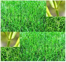 100 Bermuda Grass Seeds Cynodon Dactylon Excellent Coverage Garden Nature Plants