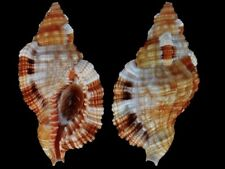 Cymatium aquatile - Shells from all over the World NEW!!!