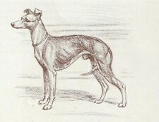 Italian Greyhound - Vintage Dog Print - 1954 Megargee