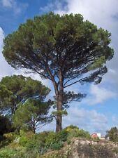 Mediterraneo-Pino-Pinus pinea, Top BONSAI adatto, 6 semi, 6 seeds