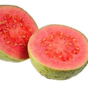 Barbie Pink Guava Tree Live Plant - Psidium guajava
