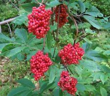 leuchtender !i ROTER HOLUNDER i! rote Beeren Wildtiere Futter Herbstlich