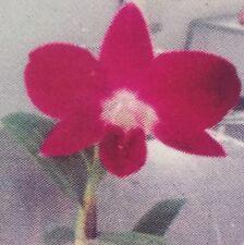 Dendrobium BURANA SUNRISE seedling orchid plant in 80mm pot