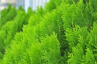 exotisch Garten Pflanze Samen winterhart Sämereien Exot Baum LEBENSBAUM