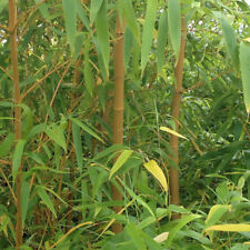 Yellow Bamboo (Phyllostachys) Plants 80-100cm tall - Pair