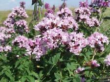 Seeds Herb Origanum Organic Russian Heirloom Herb Seed