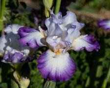 *Conjuration* Tall Bearded Iris. Freshly Dug, Combined Shipping: Feb/Mar