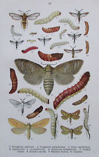 1913 Schmetterlinge Raupe PARNASSIUS PIERIS COLIAS VANESSA 2 Farbdrucke print