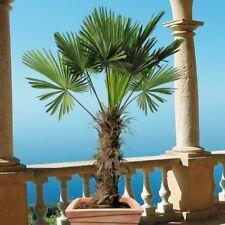 Palme XXL 140-160 cm, Trachycarpus fortunei Hanfpalme, winterhart bis -18 Grad