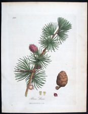 1791,WOODVILLE'S PHARMACOPOEIA 1St Ed HandPainted PINUS LARIX VX8