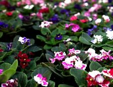 FANCY AFRICAN VIOLET Saintpaulia Popular House Plant Easy! Fantasy Mix 10 Seeds