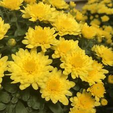 (3) Live Plants Sundance Yellow garden Mum Flowers