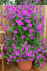15 PETUNIA PURPLE TOWER F1 Hybrid SEEDS for HANGING BASKETS Trailing Climbing