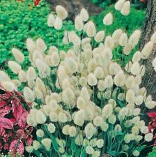 20 pcs Bunny Tails (Lagurus ovatus) flower seeds