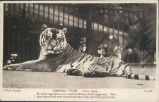 Postcard Siberian Tiger London Zoo Real Photo Unposted
