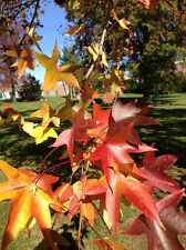 Liquidambar styraciflua Sweet gum 9cm Pot Please Read Description