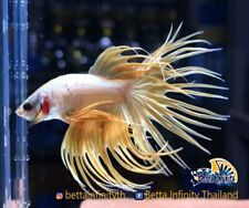 (Limitid) : Premium Live Betta Fish : Male Crawn Tail Yellow Gold (CT Series-C4)