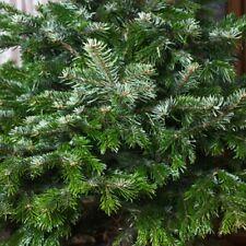 Abies nordmanniana (Nordmann Fir) - 10 seeds. Grow Your Own Non Drop Xmas Tree!