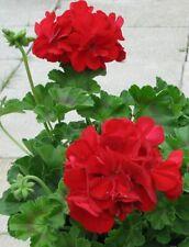 30 Geranium Caliente Deep Red Live Plants Plugs Garden Home Diy Planters D10002