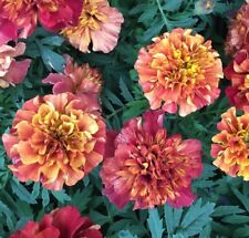 Ex452 MARIGOLD 'STRAWBERRY BLONDE' x10 seeds COLOUR CHANGING CONTAINERS MASS
